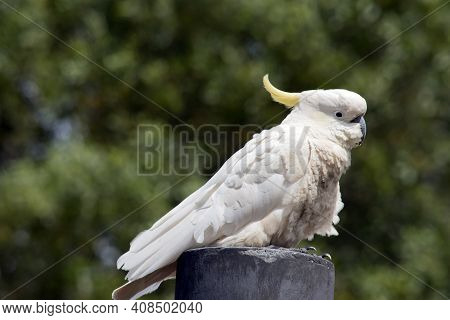 The Sulphur Crested Cockatoo Is Sitting On A Pole