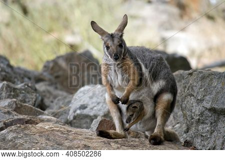 The Yellow Footed Rock Wallaby Is Grey, White And Tan; It Has Black Paws