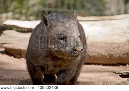 The Hairy Nosed Wombat Has Sharp Claws For Digging Is Brown In Color And Walks On Four Legs Like A D