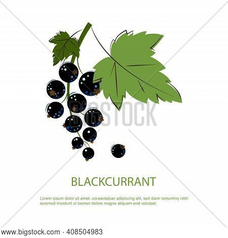 Blackcurrant Berries. Bunch Of Ripe Juicy Blackcurrant With Green Leafs. Berry For Jam.