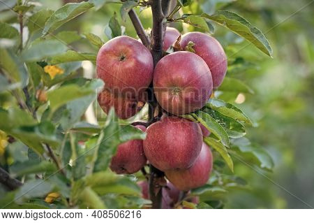 Autumn Harvest Brings Abundance Of Fruit. Red Apples Ripe On Tree. Autumn Garden Or Orchard. Apple C
