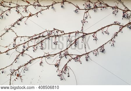 Parthenocissus Quinquefolia. A Climbing Plant Without Leaves, With Berries On The Facade Of The Buil