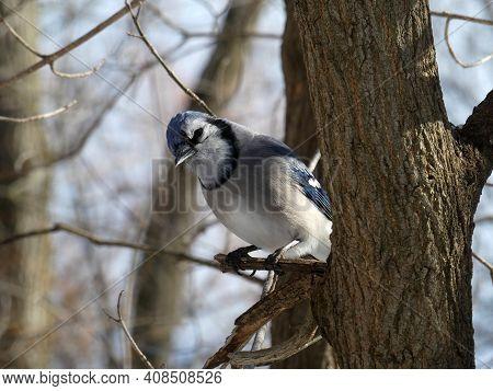 Blue Jay Bird Sitting On The Tree