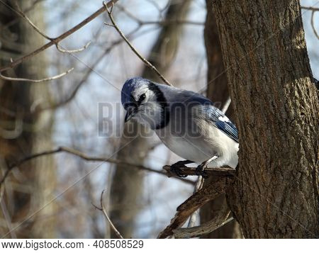 Blue Jay Bird Sitting On Tree Branch
