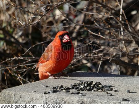 Red Male Cardinal Bird Sitting On Stone
