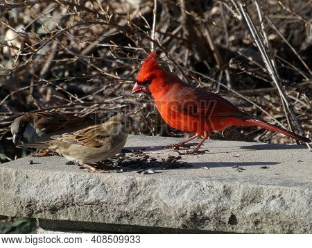Red Male Cardinal Bird And Sparrow Sitting On Stone