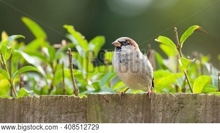 Sparrow, Male House Sparrow (passer Domesticus) On A Garden Fence, Uk