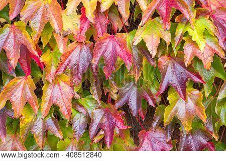 Boston Ivy (parthenocissus Tricuspidata) Closeup, Colorful Ivy Creeper Fall Background, Uk