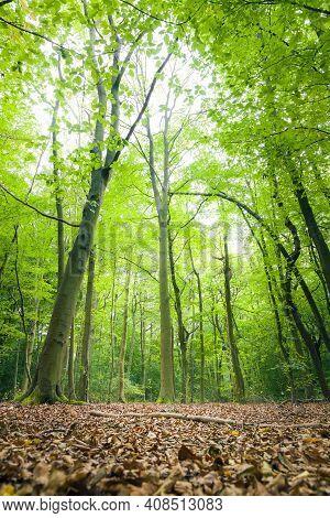 Beech Trees In A Woodland Clearing In London Green Belt. Harrow Weald Common, London, Uk