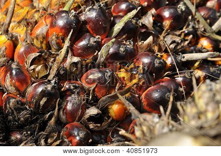 Palm Seed Fruit Plat Cluster
