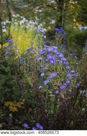 Autumn Aster In Garden. Undersized Varieties. Small Garden Astra Flowers. Group Of Alpine Asters