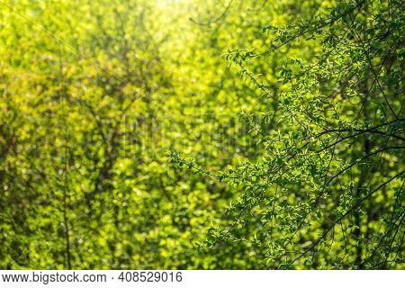 Green Bushes With Young Leaves In The Sunset. Background Springtime Image.