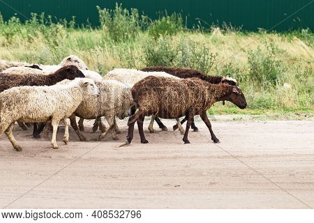 Sheeps Go Pasture. Sheeps Herd. White And Brown Sheeps On Road. Rural Scenery.
