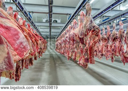 The Beef Carcasses Are Hanging In The Large Refrigerator. Industrial Meat Production.