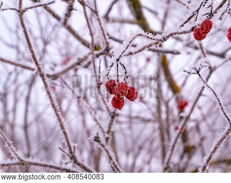 Branches Of Red Viburnum With Berries Are Covered With Frosty Frost In Winter. Red Viburnum. Winter