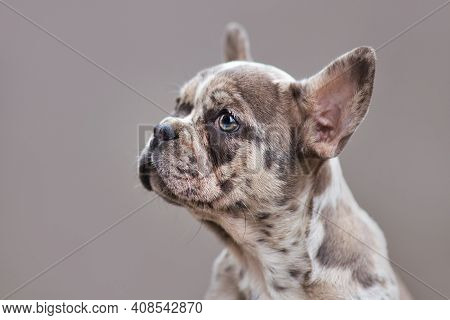 Merle Colored French Bulldog Dog Puppy With Mottled Patches In Front Of Gray Background