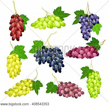 Clusters Of Grape With Crimson, Dark Blue And Green Berries Vector Set