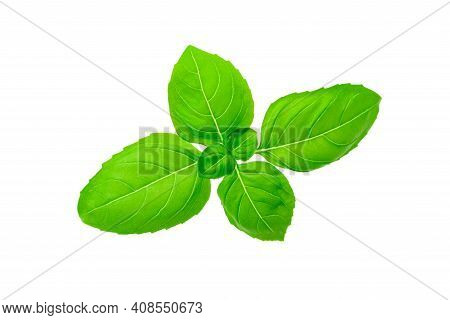 Closeup Of Isolated Fresh Basil Leaves Without Shadows. Png File With Transparent Background.