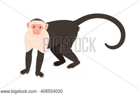 White-headed Or White-faced Capuchin With Black Body And Long Tail Standing On Four Legs. Cute Ameri