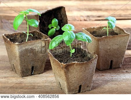 Potted Seedling Growing In Biodegradable Peat Moss Pots. Small Basil In Pots On Brown Wooden Table,