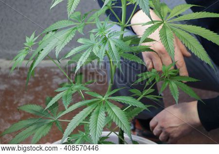 Cannabis In Medium Ripeness Growing In Indoor Conditions Against A Blurred Background Of A Squatting