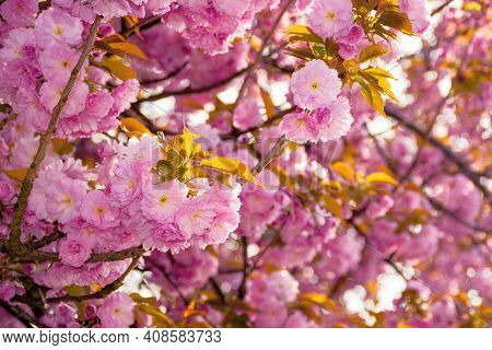 Pink Blossoming Sakura Tree. Blooming Cherry Flowers On The Branch In Springtime. Close Up Botanical