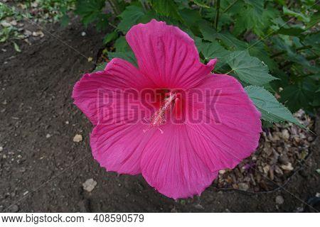 One Crimson Flower Of Hibiscus Moscheutos In August