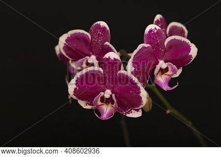 Orchid Flowers Phalaenopsis. Branch Of Flowering Orchid Phalaenopsis (known As Butterfly Orchids) On