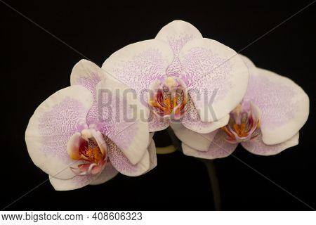 Orchid Flowers Phalaenopsis Pretty Romance. Branch Of Flowering Orchid Phalaenopsis Pretty Romance (
