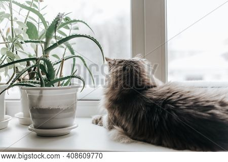 Fluffy Gray Cat Lies And Looks Out The Window, Indoors. Back View