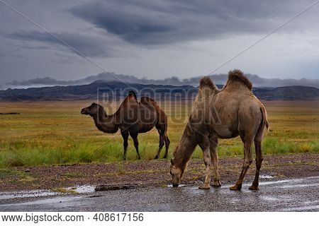Kazakhstan. Two-humped Camels On An Asphalt Road Near The Town Of Zharkent.