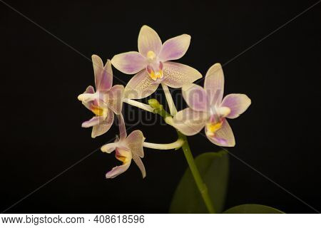 Orchid Flowers Phalaenopsis Balm Aroma. Branch Of Flowering Orchid Phalaenopsis Balm Aroma (known As