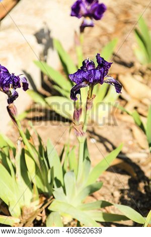 Deep Purple Barbado Iris Germanica Flower In The Garden