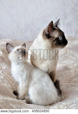 A Siamese Cat And Its Kitten Look In The Same Direction.