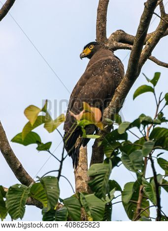 Crested Serpent Eagle Perched High Up In A Tree Branch Resting And Looking Back. Watchful Of The Sur
