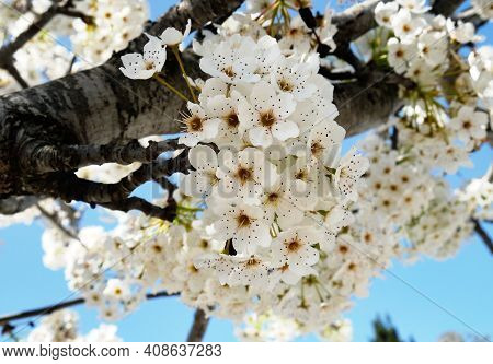 Beautiful Blooming Pyrus Calleryana, Or Pear Callery With White Flowers