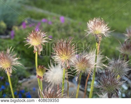 Bunch Of Out Of Bloompulsatilla Pratensis Down. White Fluffy Flue Pasque Flower On Green Bokeh Plant