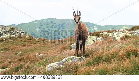Wild Chamois In The Meadow Of Low Tatras (nizke Tatry) Mountains. It Is Walkin On The Tourist Path T
