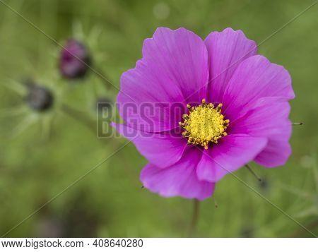 Close Up Blooming Garden Cosmos, Cosmos Bipinnatus Or Mexican Aster. Single Macro Perfect Pink Flowe