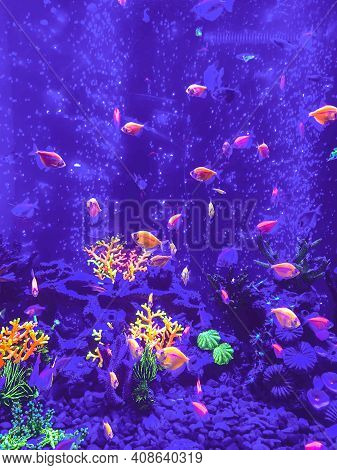 A Green Beautiful Planted Tropical Freshwater Aquarium With Fishes, Zebra Angelfish Pterophyllum Sca