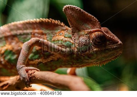 Beautiful Lizard Of The Yemen Chameleon, Veiled Chameleon, Chamaeleo Calyptratus