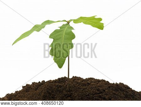 Young Oak Tree Saplings Growing In Compost On A White Isolated Background  With A Concept Of New Beg
