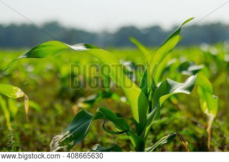 Maize Green Tree Also Known As Corn Is A Cereal Grain That A Deciduous Food And Coniferous. A Maize-