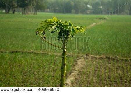 Papaya Tree With Biggest Green Onion Plant In A Village Or Carica Papaya