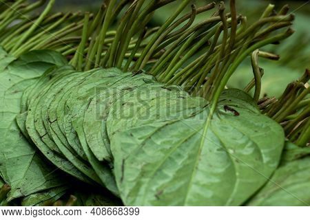 The Betel Or Piper Betle Is A Vine Of The Family Piperaceae, Which Includes Pepper And Kava And Bete