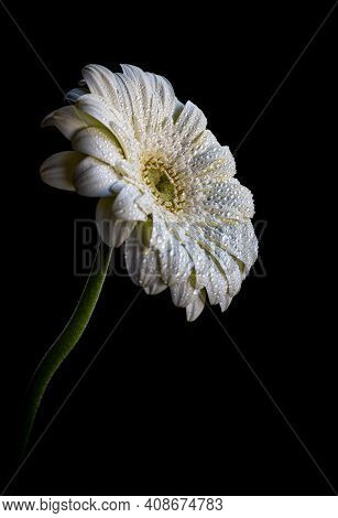 White Blooming Marguerite Flower With Waterdrops On Petals Isolated On Black Background.