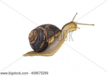 Garden Snail With Brown Striped Shell Is Crawling On A White Background. Garden Snail Isolated On Wh