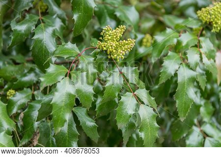 Holly Fruits With Toothed Leaves - Close-up