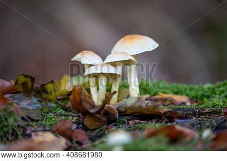 Hypholoma Fasciculare Fungus Growing On A Tree Stump