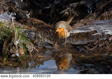 Watchful Robin Bird (rotkehlchen) Searching For Worms At A River, Close Up With Copy Space